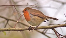 Robin Round-up