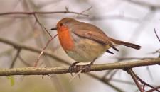 Robin Round-up